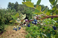 Blueberry Branch. The branch of a blueberry shrub with ripe and immature berries Stock Images