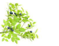 Blueberry branch. With berries on a white background Royalty Free Stock Images