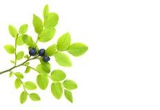 Blueberry branch Stock Photo