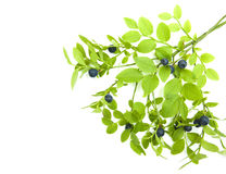 Blueberry branch Royalty Free Stock Images