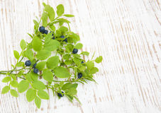 Blueberry branch Royalty Free Stock Photography