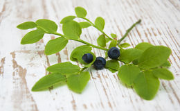 Blueberry branch Royalty Free Stock Photos