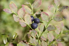 Blueberry on a branch Stock Photos