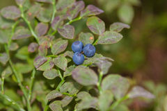 Blueberry on a branch Royalty Free Stock Photos