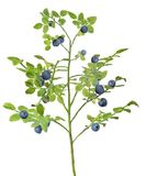Medium green blueberry lush branch with berries stock photos