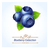 Blueberry branch Stock Photos