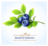 Blueberry branch. Leaves and berries isolated on white background. Realistic digital paint. Vector illustration Royalty Free Stock Image