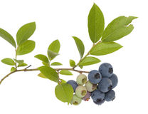 Blueberry. Branch of ripe and unripe berry on white background Stock Images