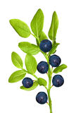 Blueberry branch with six berries Royalty Free Stock Image