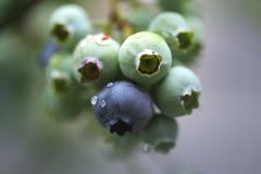Blueberry Bush Stock Image