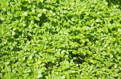Free Blueberry Bush Royalty Free Stock Photography - 42583407
