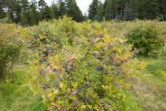 Free Blueberry Bush Stock Images - 56956994