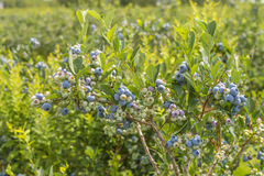 Blueberry Bush Royalty Free Stock Image