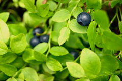 Blueberry bush with berries Stock Image