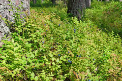 The blueberry Bush with berries on a hummock near the pine trees Stock Photos