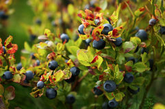 Blueberry bush with berries Stock Photos