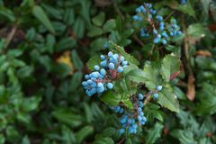The  blueberry on bush. The berry of blueberry on bush Stock Photography