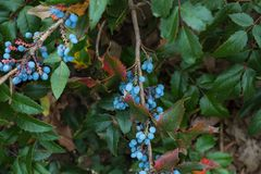 The  blueberry on bush. The berry of blueberry on bush Stock Photo