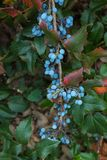 The  blueberry on bush. The berry of blueberry on bush Royalty Free Stock Images