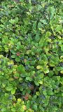 Blueberry bush. Close up of blueberries on a green leafy bush Stock Photo