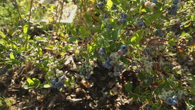 Blueberry Bush dolly shot stock video footage