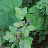 Blueberry bush  Stock Photos