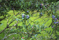 Blueberry Bush. With field in the background, Fruit is ripe and ready to be picked Stock Images