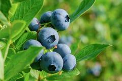 Blueberry on the bush Royalty Free Stock Image