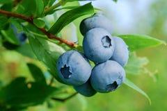 Blueberry on the bush Royalty Free Stock Photo