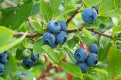 Blueberry on the bush Stock Photos