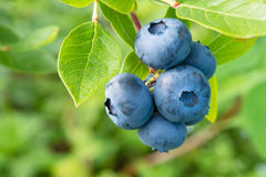 Blueberry on the bush Stock Image