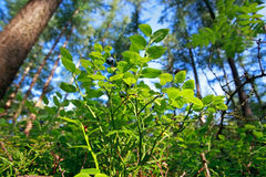 Blueberry bush with fruit in forest Stock Photo