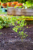 Blueberry Bush in Garden Royalty Free Stock Photos