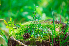 Blueberry bush is growing on a stump Royalty Free Stock Photos