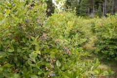 Blueberry bush Stock Photos