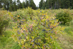 Blueberry bush Stock Images