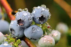 Blueberry bush in the rain Stock Images
