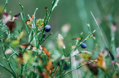 Blueberry bush with ripe berries in autumn in forest, Belarus Stock Photo