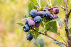 Blueberry bush with ripe blueberries Stock Image