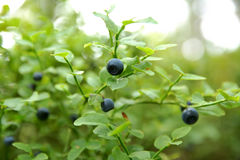 Blueberry bush with ripe blueberries Royalty Free Stock Image