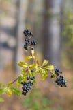 Blueberry bush Stock Image