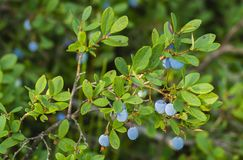Blueberry. On bush in Summer Day Royalty Free Stock Photo
