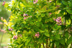 Blueberry bush in sunny day Stock Photography