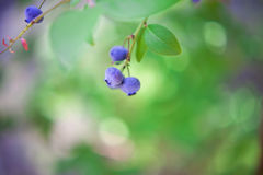 Blueberry bush Royalty Free Stock Images
