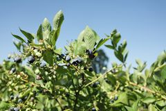 Blueberry bushes. Vaccinium corymbosum - Blueberry bush with berries both ripe and green royalty free stock images