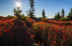 Blueberry bushes at Dolly Sods Royalty Free Stock Photography