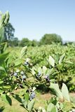 Blueberry bushes in a large open farm field. Vaccinium corymbosum - Blueberry bush with berries both ripe and green - bushes in a large open farm field ripening stock photo