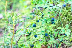 Blueberry bushes and moss in a forest. Close-up royalty free stock image