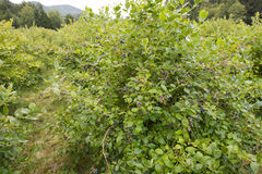Blueberry bushes Royalty Free Stock Photography