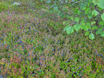 The blueberry bushes. The bushes of ripe blueberry , photographed Royalty Free Stock Photos